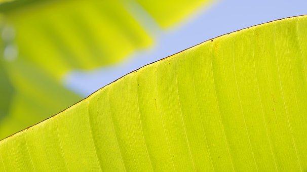 Banana Lief, Green, Nature, Macro, Depth Of Field