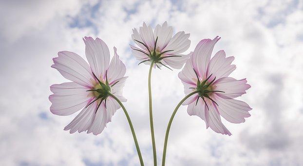 Cosmos, Autumn, Nature, Flowers, Plants, Beautiful