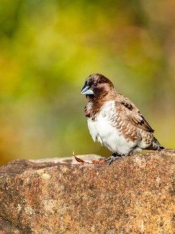Animal, Beak, Bird, Black, Branch, Bronze Mannikin