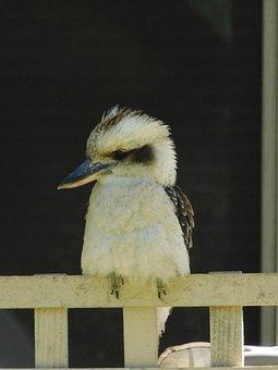 Kookaburra, Native, Australian, Bird, Wildlife, Beak