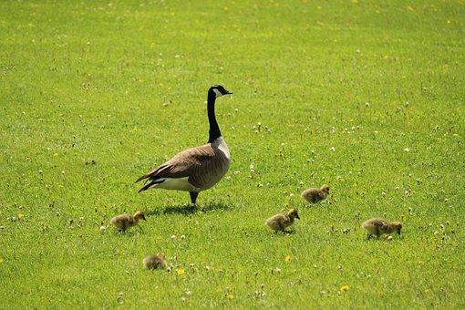 Goose, Bustard, Birds, Water, Geese, Plumage, Animals