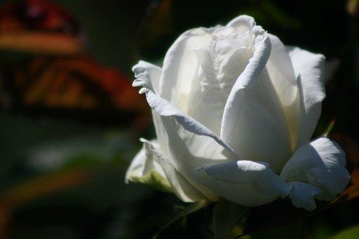 Rose, White, Bloom, Plant, Blossom, Flower, Nature