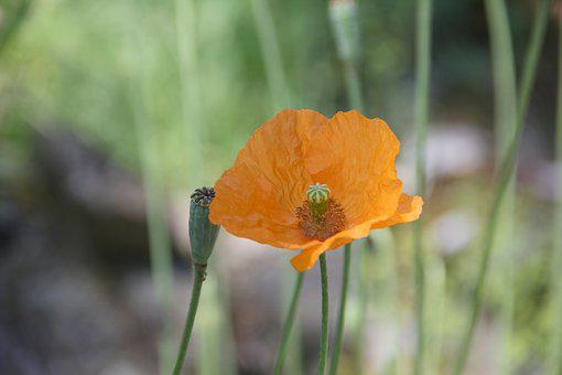 Poppy, Orange, Beautiful, Farbenpracht, Blossoms