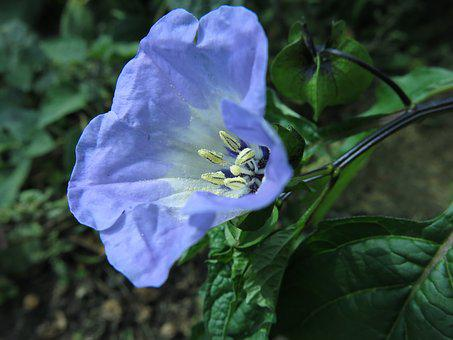 Blue Lantern Flower, Poison Berry, Nicandra Physaloides