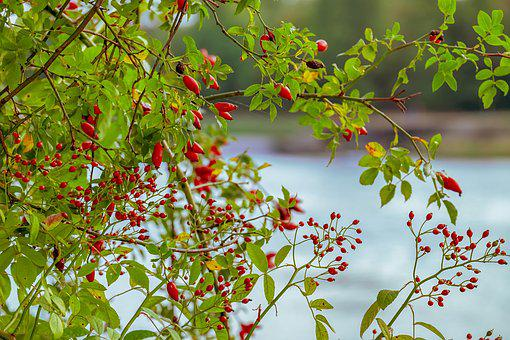 Rose Hip, Canina, Fruit, Red, Bush, Autumn, Wild Rose