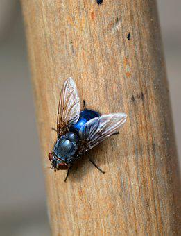 Fly, Close Up, Insect, Blue