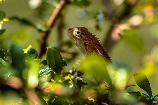 Chameleon, Animal, Lizard, Reptile, Colorful, Color