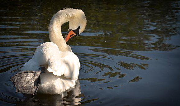 Swan, Elegant, Noble, Plumage, White, Beautiful