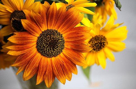 Sunflower, Ornamental Sunflower, Flower, Flowering