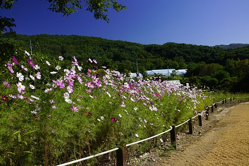 Autumn, Cosmos, Gil, Nature, Flowers, Beautiful