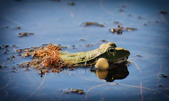 Frog, Pond, Animal, Water Frog, Frog Pond, High, Toad