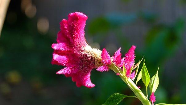 Flower, Fuchsia, Nature, Bloom, Garden, Flora, Floral