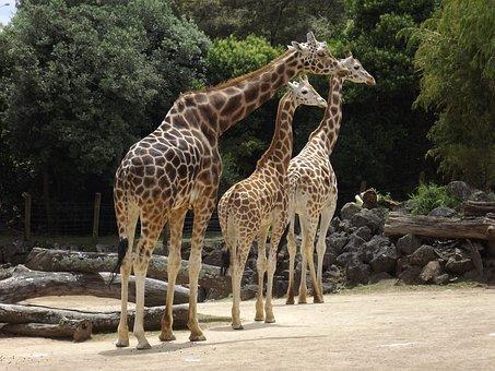 Giraffe, Pattern, Colourful, Zoo, Wildlife, African