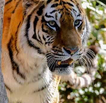 Animal, Predator, Tiger, Animal Portrait, Eyes, Head