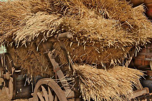 Cereals, Harvest, Agriculture, Historically