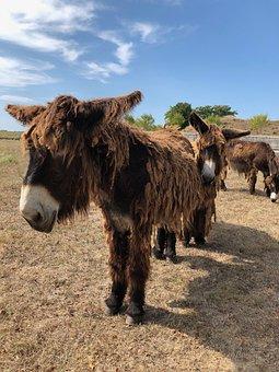 Donkey, Rasta, Ils De Re, France
