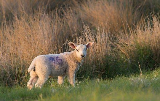 Sheep, Lamb, Grass, Livestock, Meadow, Farm, Cute