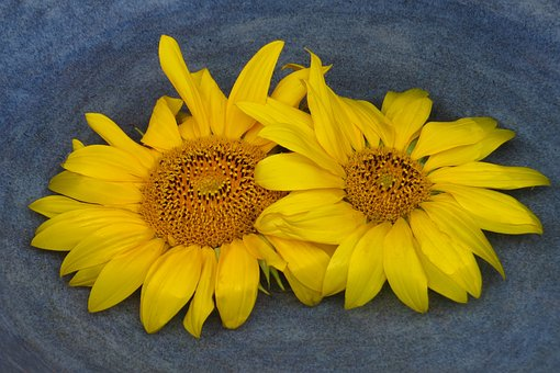 Two Sun Flowers, Flowers, Bright, Late Summer, Autumn