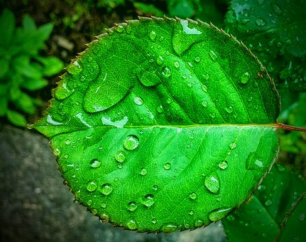 Leaf, Water Drops, Nature