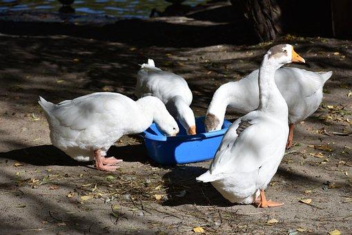 Geese, Birds, Eat, Animals, Nature, Novosibirsk, Zoo