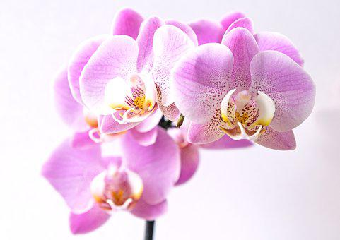 Flower, Blossom, Bloom, Orchid, Pink, Yellow, White