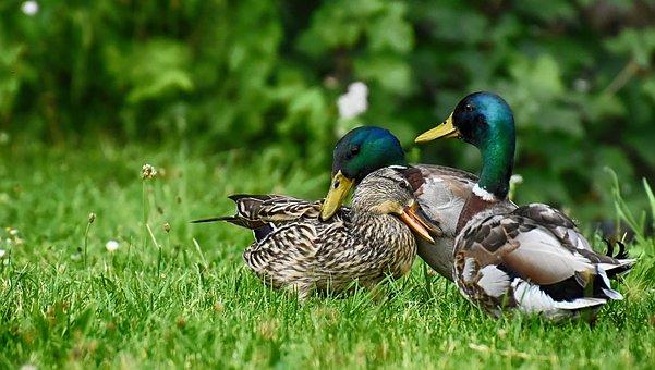Mallards, Waterfowl, Nature, Animal, Plumage, Duck