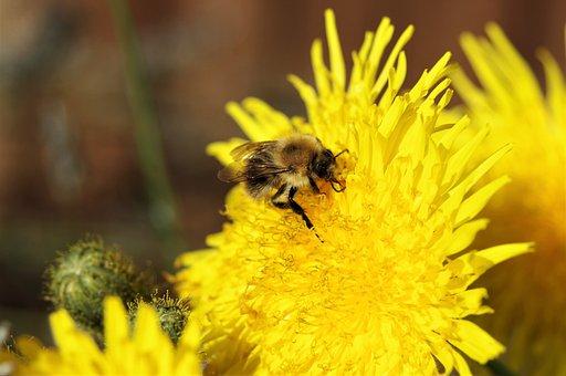 Dandelion, Bee, Yellow, Flower, Pollen, Pollination