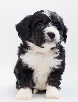 Bernedoodle, Dog, Puppies, Puppy, Doggy, Cute