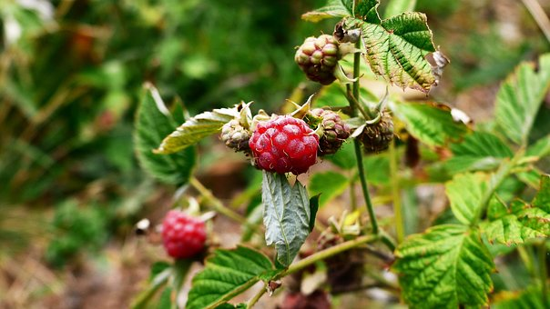 Raspberry, Wild, Nature, Red, Delicious, Fresh, Summer