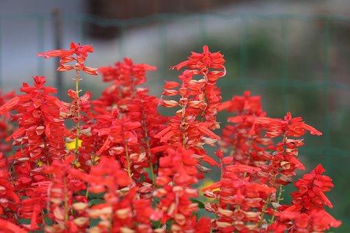 Red Garden Sage, Salvia, Flower, Blossom, Bloom, Nature