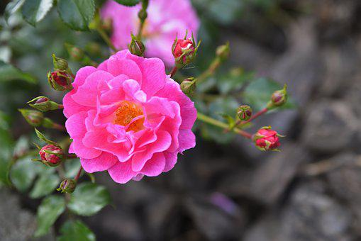 Flower, Rose, Raspberry