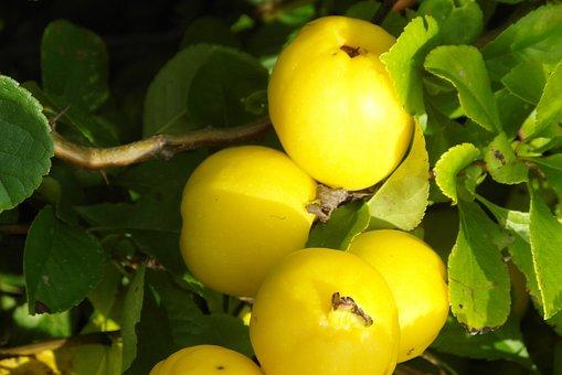 Quince Decorative, Poland Lemon, Sidonia, Decorative