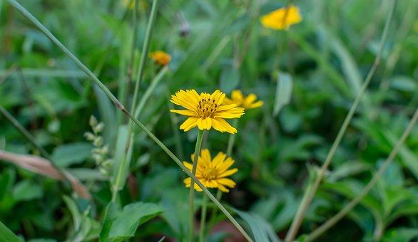 Sphagneticola Trilobata, Flower, Caribbean, Yellow