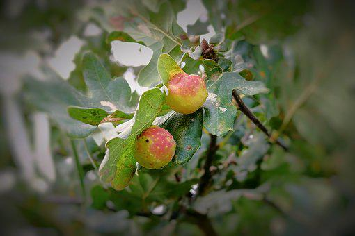Apples, Oak, Tree, Foliage, Autumn