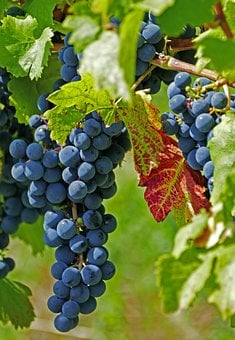Agriculture, Viticulture, Vineyards, Grapes, Red, Wine