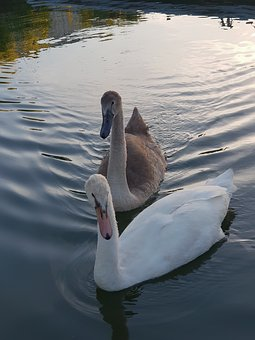 Swans, Animal Children, Swan, Water, Water Bird