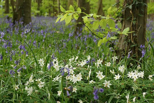Bluebells, Wood Anemone, Wood, Flower, Spring, White