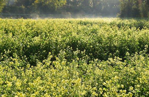 Oilseed Rape, Field Of Rapeseeds, Landscape, Yellow