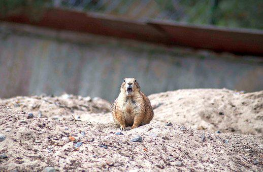The Prairie Dog, Surprised, Rodent, Zoo, Funny