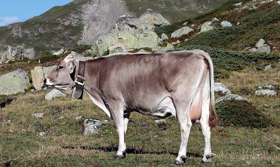 Mountain Cow, Alpine, Cow, Pasture, Mountains
