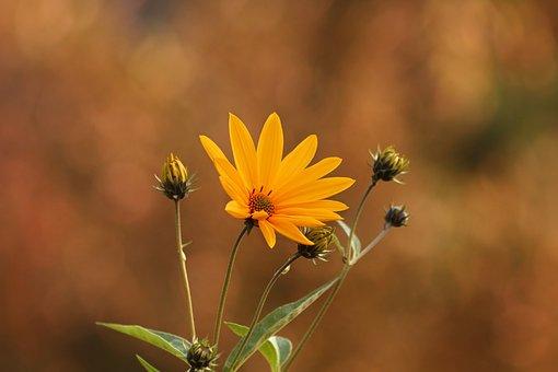 Jerusalem Artichoke, Flower, Yellow, Sunflower, Baking
