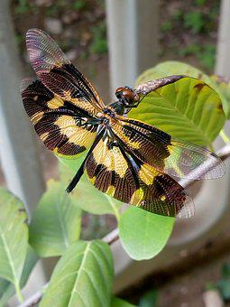 Insect, Dragonfly, Big