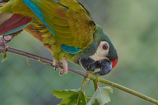 Parrot, Ara, Bird, Plumage, Bill, Exotic, Blue, Feather