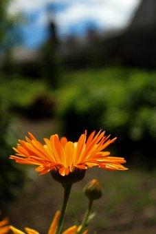 Flower, Blossom, Bloom, Kalendula, Garden, Organs