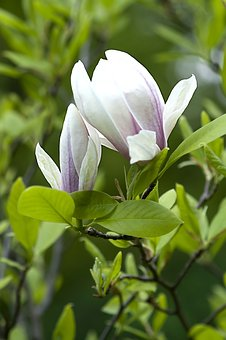 Magnolia, Flower, Tree, Blossoming, Flowers, Spring
