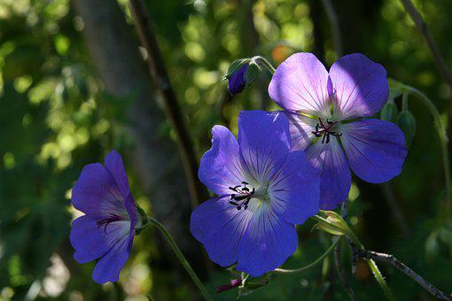 Blue, Flowers, Petals, Shining, Bloom