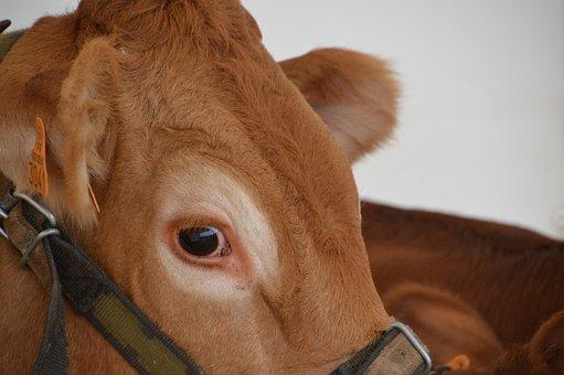 Calf, Cattle, Mammal, Cow, Race Limousine