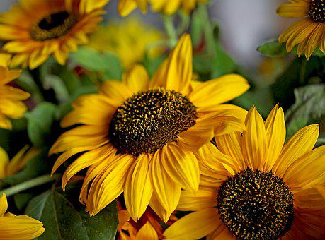 Sunflower, Ornamental Sunflower, Yellow Flower, Clear