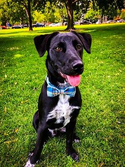 Dog, Bow Tie, Park, Nature, Green, Colorado, Denver