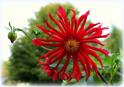 Dalia, Flower, Red, Dahlias, In The Fall, The Petals
